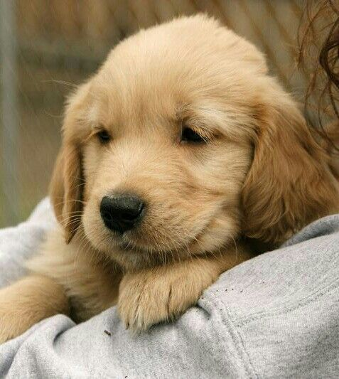 Taz - Golden puppy