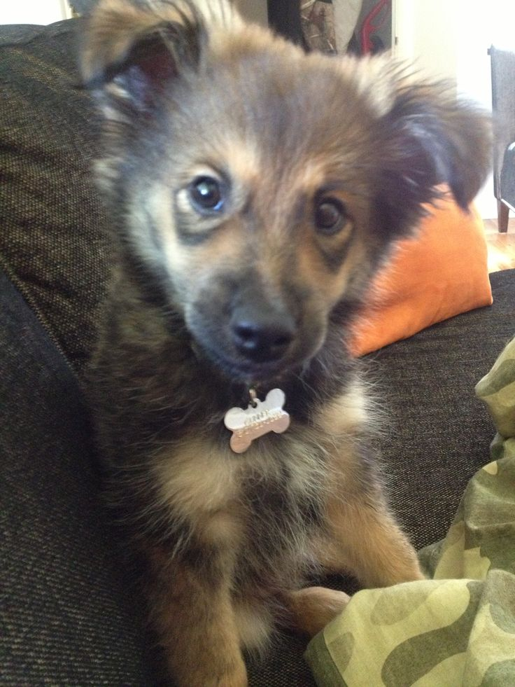 Miniature Aussie Shepard and Sheltie mix...Gunner