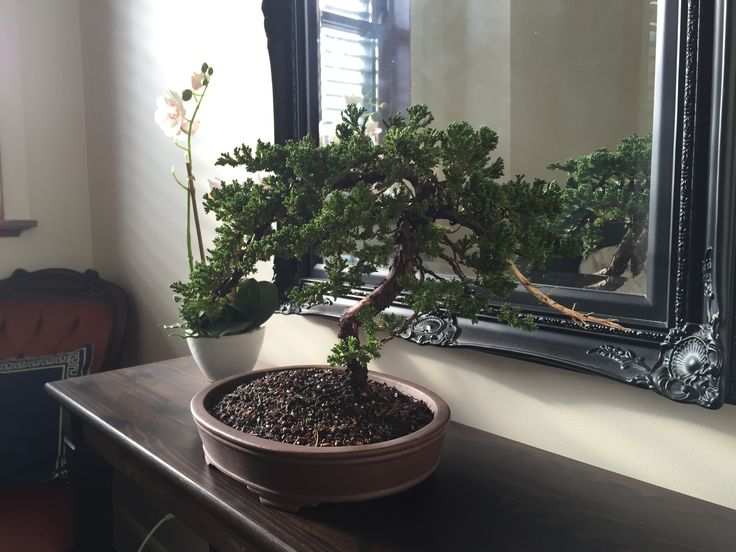 Large juniper 1. After pruning, and wiring. 12-06-2016 #bonsai #tree #gardening
