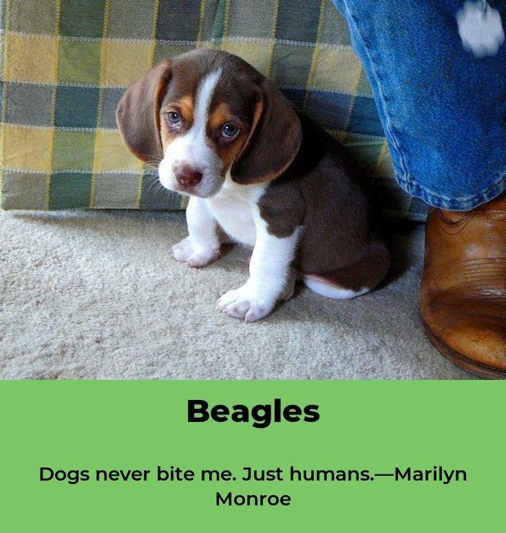 Beagle Puppies Beaglelover Beagles Memes Beagle Puppy Beagle