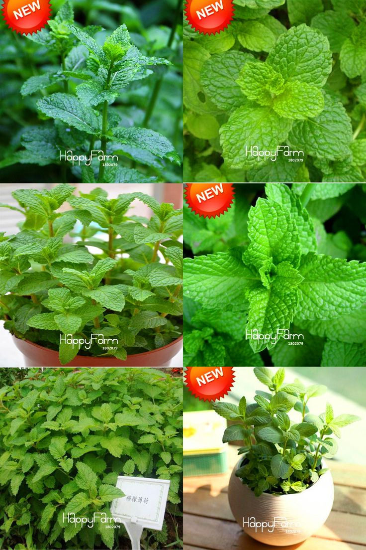 [Visit to Buy] Best-Selling!Foliage Plant Seeds Mentha Citrata Herbal Lemon Balm Lemon Mint Seeds 200 Seeds / bag,#HHDCOP #Advertisement
