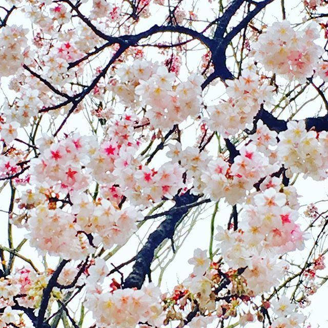 【hyeonseokcha】さんのInstagramをピンしています。 《일본 도쿄 우에노공원에는 벌써 벚꽃이!! 춥지도않고 날씨 좋다 #꽃 #꽃스타그램 #벚꽃 #실시간 #도쿄 #일본 #여행 #여행스타그램 #일본여행 #도쿄여행 #사쿠라 #桜 #이쁘다 #힐링 #아이폰6s》