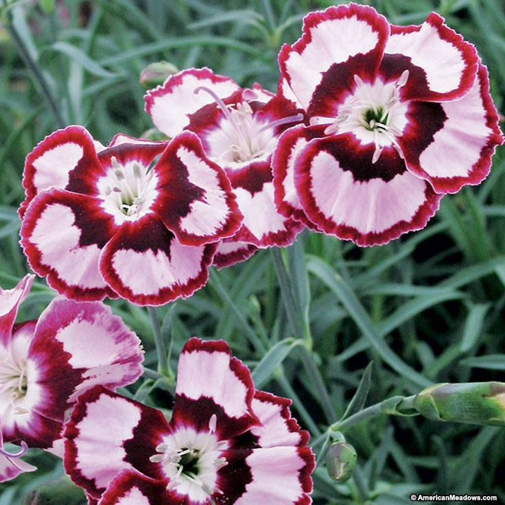Dianthus Raspberry Swirl PP14377 or also known as a mini carnation is a stunning single flower with red-edged petals.  It's drought tolerant and makes for an excellent ground cover.  Raspberry Swirl is a prolific bloomer that flowers in late spring and continues to fall.  (Dianthus)PP