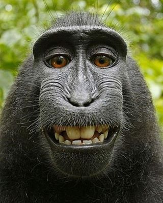 . One of the selfies taken in 2011 by Naruto, a monkey that picked up photographer David Slater's camera. #Wildlife #Monkey #Smile #Selfies