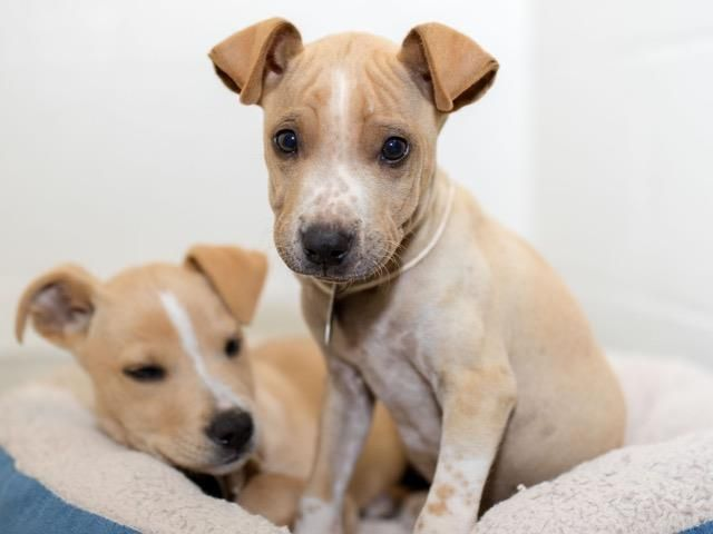 11/28/16- SUPER URGENT - HOUSTON FACILITY IS OVER CAPACITY -MIKE - ID#A472795  My name is MIKE  I am a male, cream and white Labrador Retriever mix.  The shelter staff think I am about 10 weeks old.  I have been at the shelter since Nov 21, 2016.  This information was refreshed 60 minutes ago and may not represent all of the animals at the Harris County Public Health and Environmental Services.