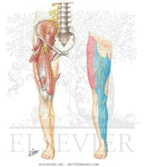 15 best femoral nerve block images on pinterest | femoral nerve, Muscles