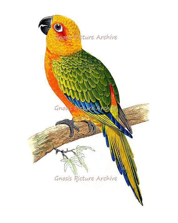 Antique Bird Print Orange Parrot No 2 Wall Hanging Vintage Ornithology Natural History Home Decor