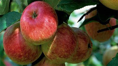 Gardening Australia - Dwarf Apples