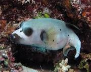 Dogfish puffer nemo pinterest for Dog face puffer fish