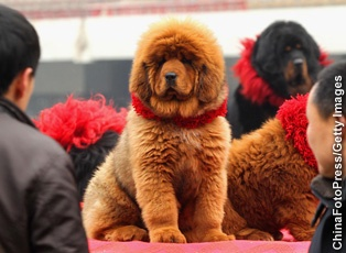 @InsideEdition :: Red Tibetan Mastiff Sells for $1.5 Million in China. Andrea interviewed about this sale. 03/17/11. #dogs #china
