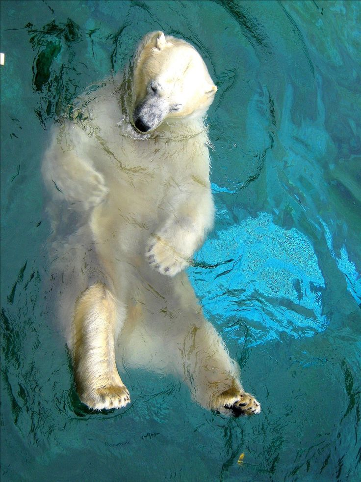 Beautiful polarbear ~ photo by my daughter Selina at Seaworld, Gold Coast, Australia