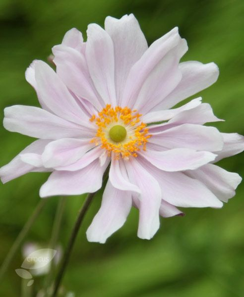 Buy Japanese anemone ( syn. Queen Charlotte ) Anemone × hybrida 'Königin Charlotte': Delivery by Crocus.co.uk