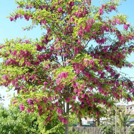 Robinier / Faux acacia 'Casque Rouge'