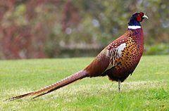 Mongolian Ring-neck common Pheasant.jpg