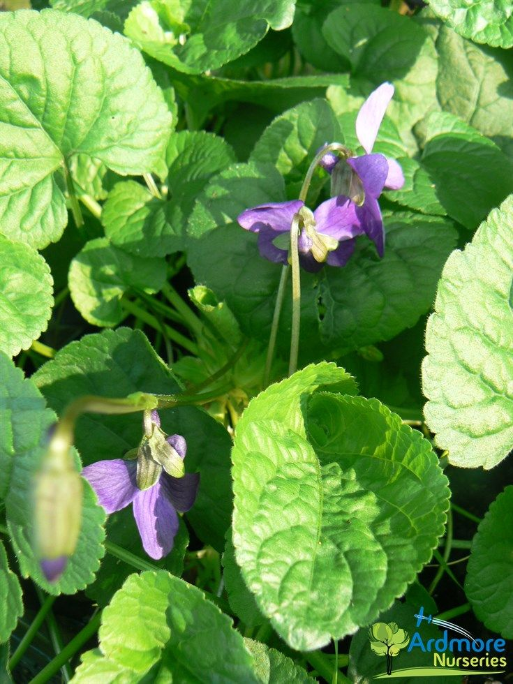 VIOLA ODORATA 'PURPLE' Sweet Violet  A running perennial with small, highly fragrant, purple flowers in late Winter and early Spring. Prefers full sun to semi shade, well drained moist soils. Tolerates exposed or sheltered sites. Evergreen.  E.H. 10cm x E.W. 50cm