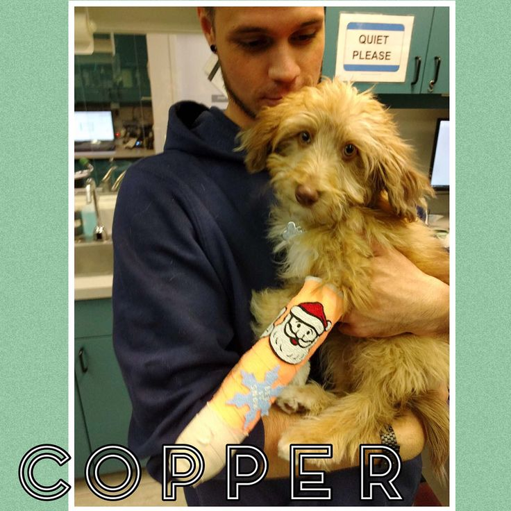 #patientoftheday Copper visited us for help with intense pain with his front left leg. X-rays showed fractures in his radius and ulna (two forearm bones). Ouch! Swipe  to see a comparison X-ray and see if you can spy the fractures! . . . A splint was placed by our RVT Ryan ( with Copper) to stabilize the fractures . . . Take care Copper! Thank you Dr. Cross and the #AUCfamily  who cared for Copper during his stay with us . . . #veterinarian #vetlife #veterinarytechnician #radiology #aussie…
