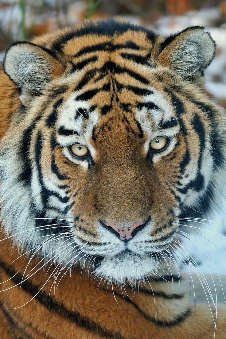 Www Bing Com1 Microsoft Way Redmond: 17 Best Images About Tigers On Pinterest
