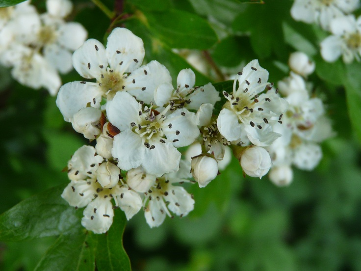 """""""Ne'er cast a clout 'til May is out!"""" 'May is the country name for Hawthorn, not surprisingly because it blossoms in May. Unlike many flowers that blossom as the days lengthen (increased light of course) the Hawthorn can come in to flower any time in May, occasionally even as early as late April; it seems to depend on warmth. Hawthorn seems to flower early in warm a spring but later in poor years and I guess that is how it came to become a country weather guide.   Its fruits we know as haws."""