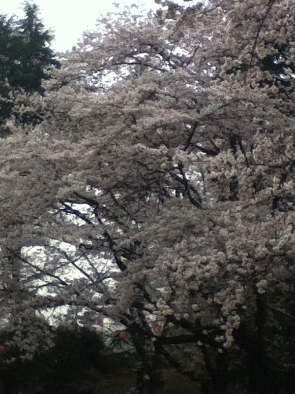 Spring in Japan, where cherry blossoms bloom everywhere, is truly a sight to behold.