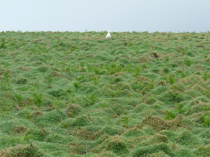 The entirely island is more or less burrowed out by the rabbits introduced in the 1800s for farming for their pelts and meat. Their presence means the vegetation stands low across the island