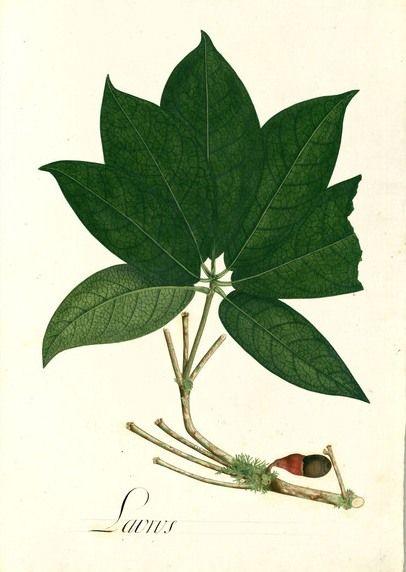 """Marathrum foeniculaceum  Dibujos (más de 7.000 dibujos) de la Real Expedición Botánica del Nuevo Reino de Granada (1783-1816), liderada por José Celestino Mutis. """"Estiló Mutis"""" pues supervisó todos los detalles artísticos, incluida la formación de los pintores. Creó un taller de artistas establecido en Mariquita (Colombia). Originales en el Real Jardín Botánico (CSIC), Madrid."""