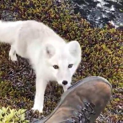 Beautiful white arctic fox