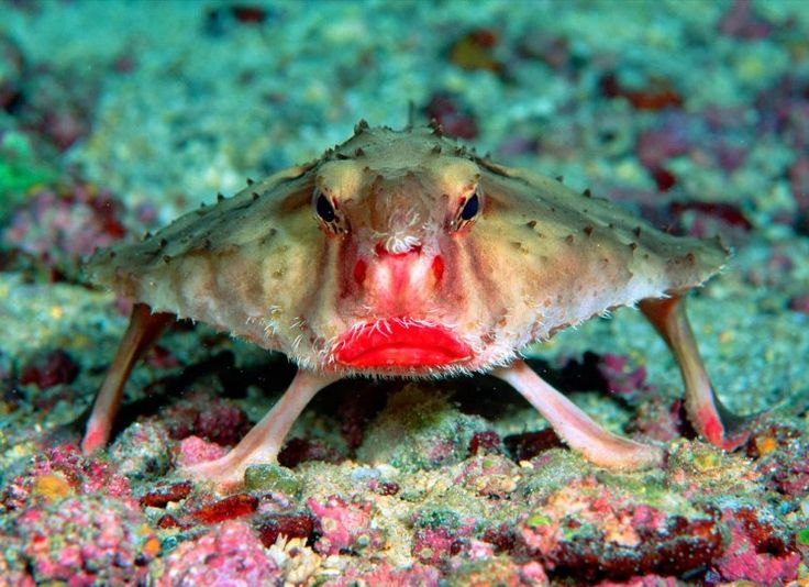 """The red-lipped batfish is a species of fish found around the Galapagos Islands. This fish is named so because of its red """"lips"""" on its mouth. This fish feeds on shrimp, mollusks and smaller fish."""