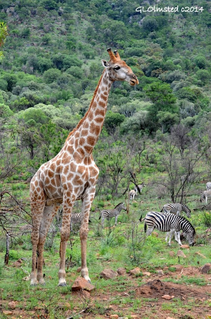 Giraffe and zebras in Pilansberg Game Reserve South Africa. #SAdvrstyEcoTour http://geogypsytraveler.com/2014/01/26/wildlife-volcanic-crater-pilansberg-game-reserve/