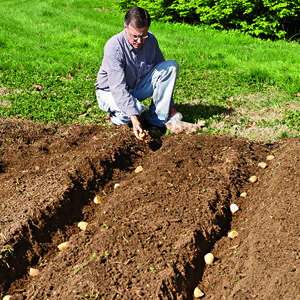planting potatoes in hilled rows