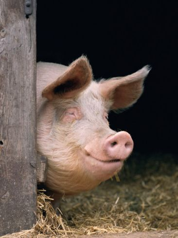 Domestic Pig Looking out of Stable