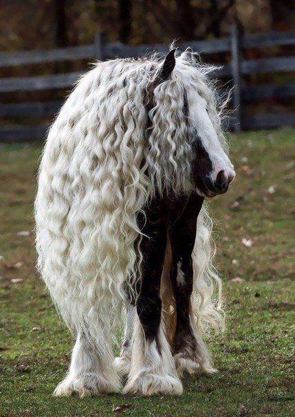 Тинкер или цыганская упряжная лошадь. #horse