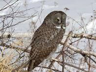 The  Great Gray Owl  inhabits the northern U.S. Rockies, Alaska, Canada and a few locations further south such as the Sierra Nevada range in California. It is considered the tallest owl in North America with the largest wingspan (up to sixty inches) and has extremely acute hearing that can detect prey underneath the snow at a distance of a hundred meters.