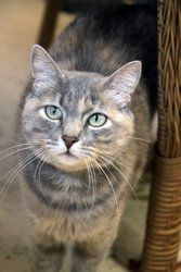 Cammy is an adoptable Dilute Tortoiseshell Cat in Sheridan, WY. Cammy is a four-year-old shorthaired gray,white and cream dilute tortoiseshell, small and slender and rather regal looking.  She can be ...