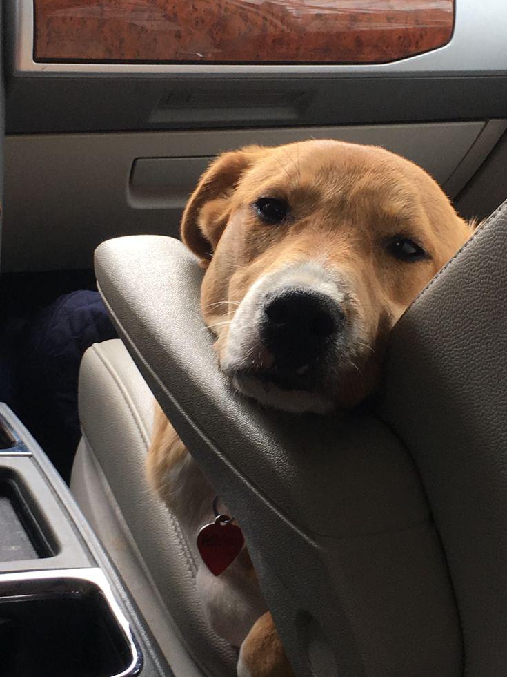 Corgi/lab waiting for a ride!