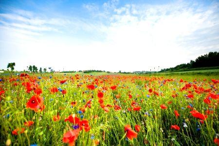 Poppy field in the Mazurian Lakes