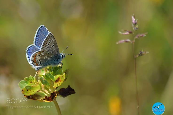 J'y vais ou j'y vais pas ? - Le bel azuré !  L'azuré commun (Polyommatus icarus) lycène ou argus bleu est un petit insecte de l'ordre des lépidoptères ou plus simplement un papillon. Il fait partie de la famille des Lycénidés (Lycaenidae).  Il mesure 2-3 cm les ailes ouvertes le dessus des ailes sont bleues pour le mâle et un mélange de brun bleu et des points oranges pour la femelle.  Le pourtour des ailes porte une petite frange de couleur blanche. Le dessous des ailes a une teinte brune…