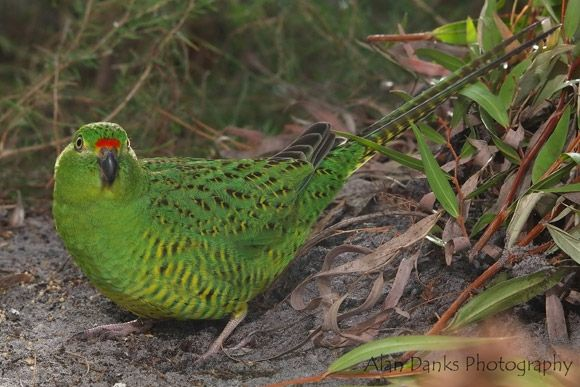 Western Ground Parrot | BirdLife Australia -- The Western Ground Parrot is a slender, medium-sized parrot with a long tail. It has distinctive bright-green plumage with yellow-and-black streaks, flecks and barring, and it has a narrow, bright-red band above its beak.