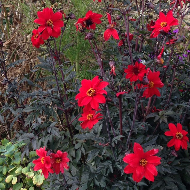 72 best FlowersAnnuals images on Pinterest Zinnias Flower