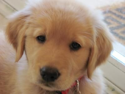 My Dream Puppy Half Golden Retriever Half Yellow Lab 3 Obsessed