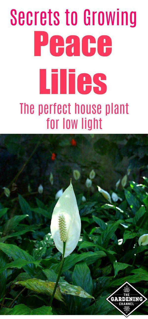 205 best houseplant tips images on pinterest. Black Bedroom Furniture Sets. Home Design Ideas