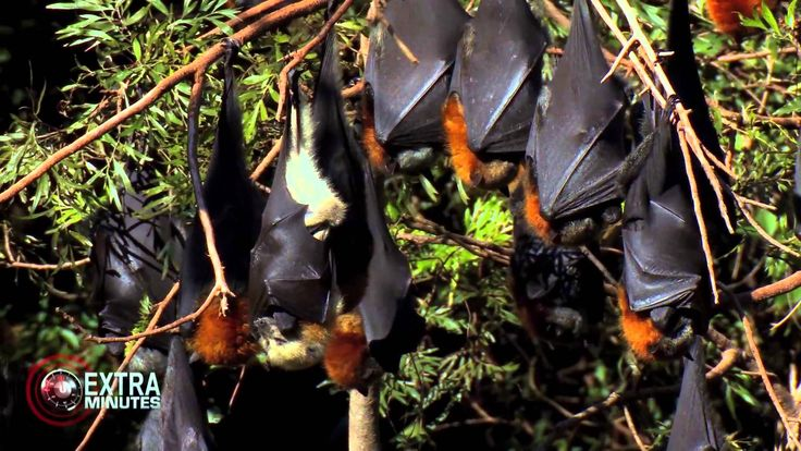 Louise Saunders talks to 60 Minutes about benefits of mega bats, minimization of disease risk, shooting permits and the Australian governments downgrading in protection for these species. Extra Minutes | 'Australian Rabies | Interview with Louise Saunders - Ba...