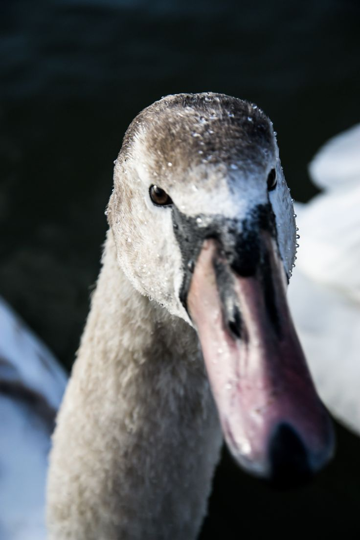 Maiden in Cornwall - Swanning Around - Perranporth boating lake swan