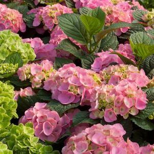 PLANTING PLAN - Hydrangea 'Bloomstruck'