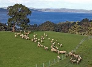 Grandvewe Cheese in Tasmania, Australia - their Sapphire Blue sheep's milk cheese just won the cheese oscar in Sydney http://www.visitvineyards.com/food/food-growers-markets/wine-food-travel-news/grandvewe-cheese-wins-champion-cheese-at-sydney-royal-show-2012