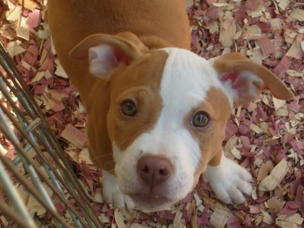 Red+Nose+Pitbulls   Pitbull Red Nose – Temperamento » Fotos de Perros Pitbull   Fotos ...