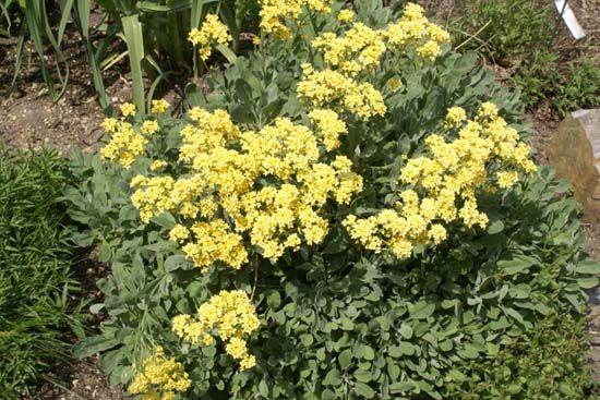 Alyssum saxatile 'Dudley Neville'. :.We begrijpen het niet. Wil je nog een vrolijker plant hebben in het voorjaar? De plant wordt veel te weinig gebruikt! En in deze niet al te schreeuwende okergele kleur kan niemand deze plant weigeren. Bloeit uitbundig in het vroege voorjaar en de bijen zijn er verzot op. zon-okergeel-mrt-mei-25cm-7pl,m2