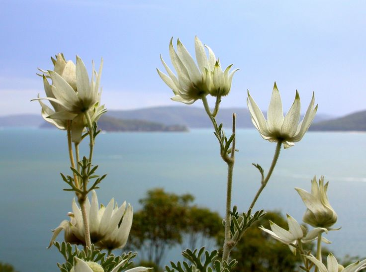 Flannel flowers, Pittwater