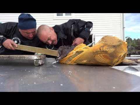 Нападение Морского Черта на дайвера. Борис ЖЖет - YouTube