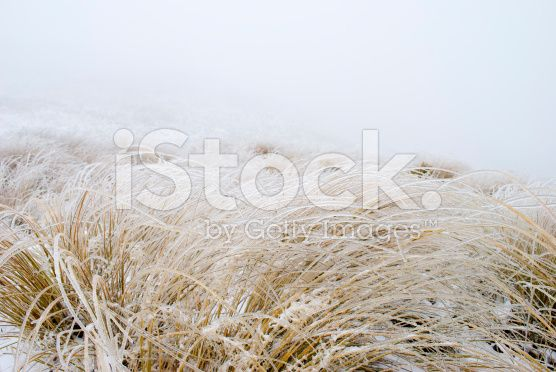 Ice on Tussock Grass, New Zealand royalty-free stock photo