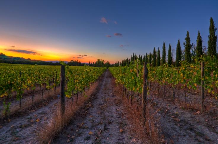 Italian Vineyard in Tuscany